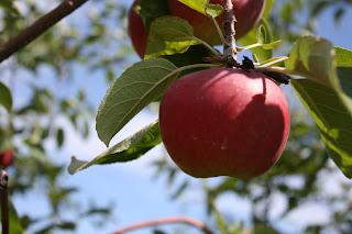 apple tree pic
