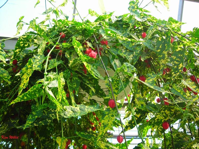 Gardening Grannys Gardening Pages Abutilon