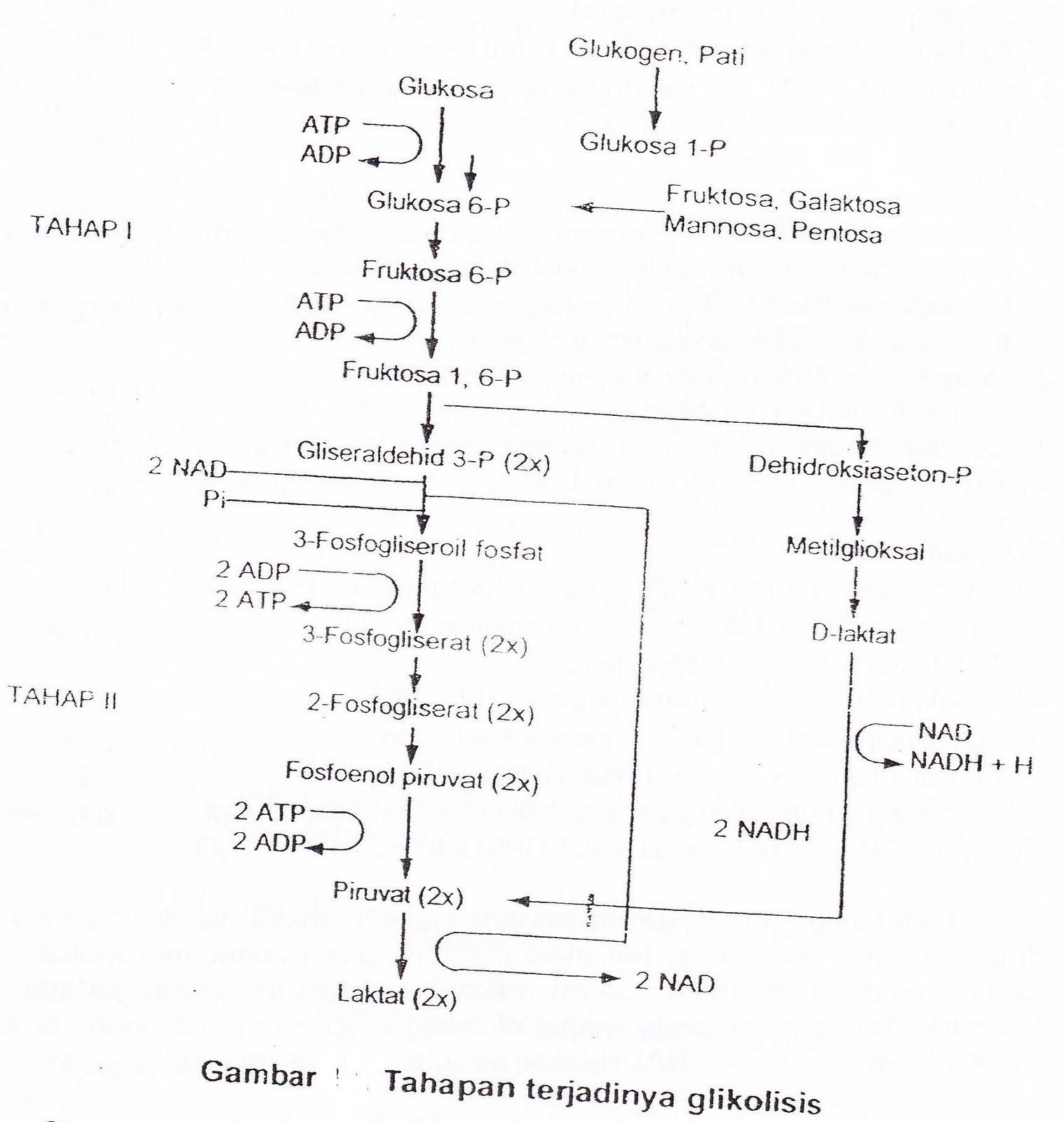 All About Biology Mitokondria