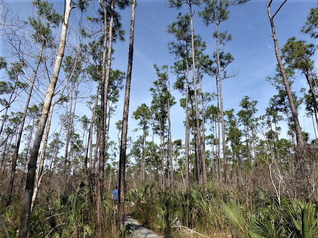 pinelands everglades