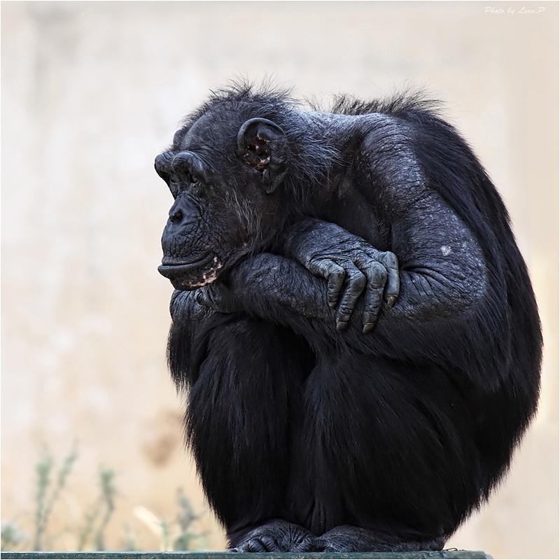 Gorillas Photos Pictures Of Gorilla