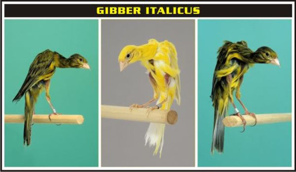ciri ciri Kenari Gibber Italicus