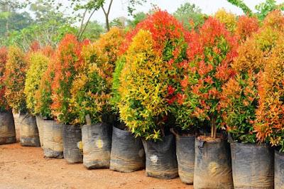 Tukang taman Surabaya Jual Pohon Pucuk Merah