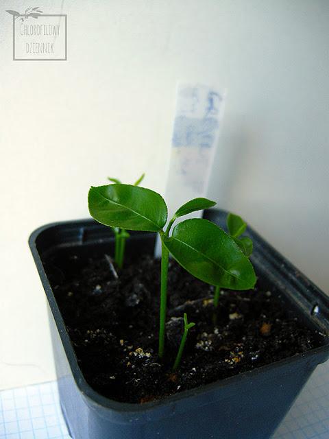 Siew grejpfruta (Citrus paradisi) z nasion, pestki w domu. Jak wysiać grejpfruta, grejfruta z nasionka w doniczce, ile kiełkuje grejpfrut, jak wygląda siewka. Dwuzarodkowe nasiona cytrusów.