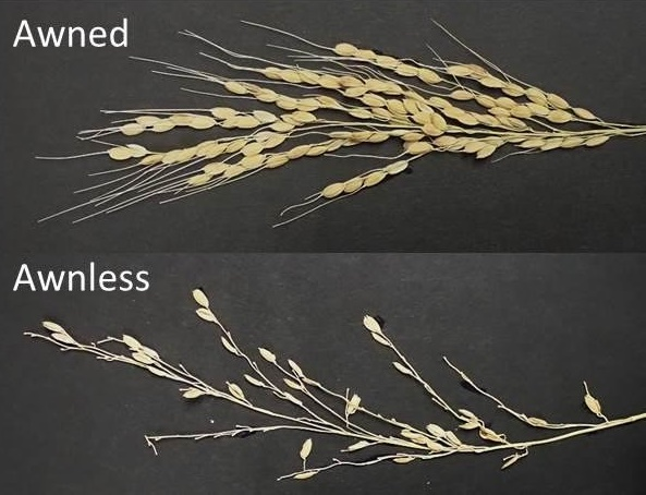 Human selection pressure on novel peptide aided domestication of Asian rice