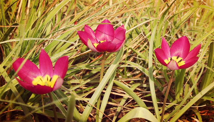 Cultivar tulipanes Botánicos