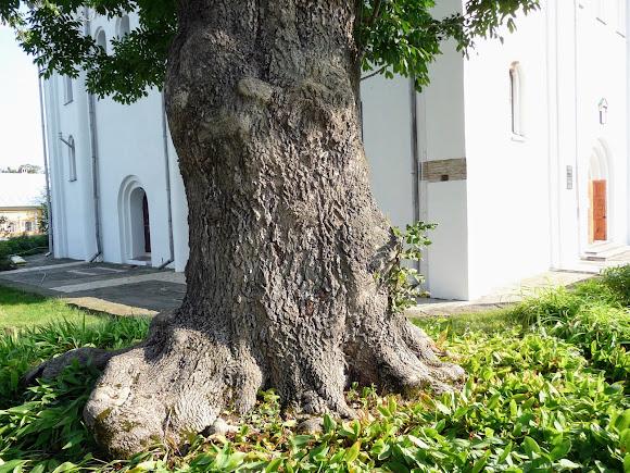 Чернигов. Елецкий Успенский монастырь. Старое дерево возле Успенского собора