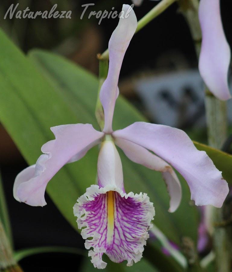 La orquídea Cattleya maxima