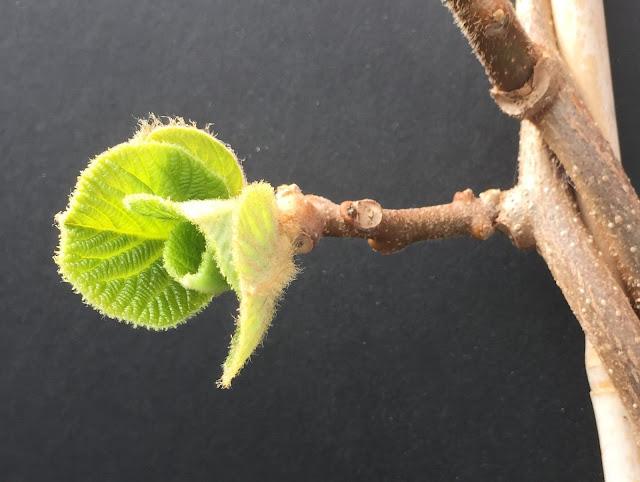 Dunkelgrüne Kiwiblätter kurz nach dem Winter