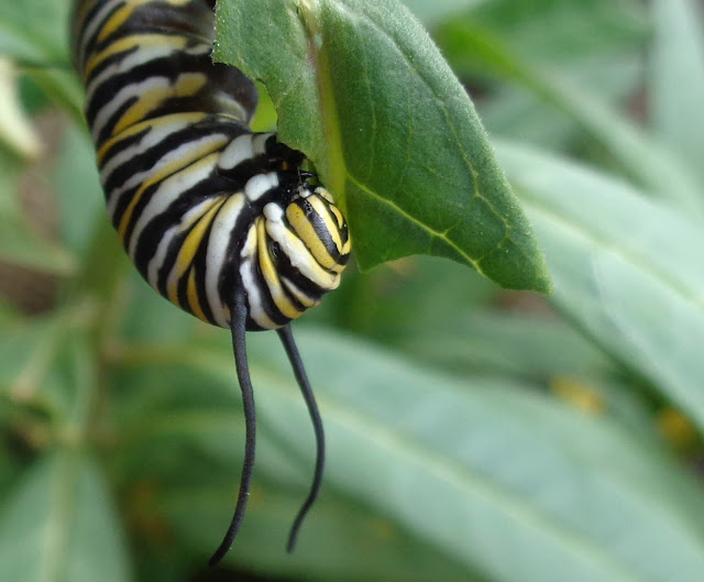 Monarch Caterpillar Eating Milkweed