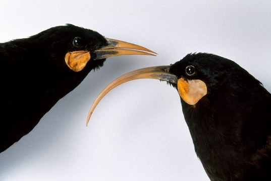 A pair of huias—male on the left, female on the right—from the Canterbury Museum, in New Zealand.Photograph by Frans Lanting Studio / Alamy
