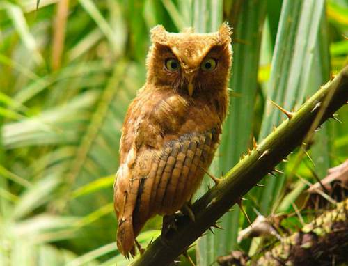Birds of India - Mountain scops owl - Otus spilocephalus - Juvenile