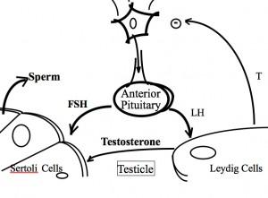 Didalam otak, si tukang kebun hipfisis yang mengatur produksi sperma