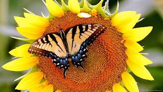 Gambar Bunga Matahari Paling Indah 200017_Sunflower