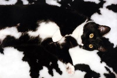 Gato camuflado con alfombra de vaca
