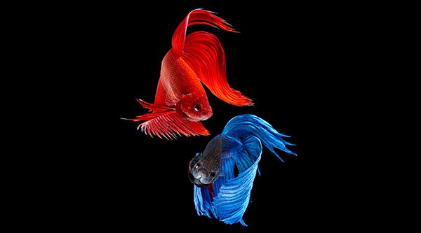 ikan cupang saling beradu meskipun beda warna cupang bukan petarung