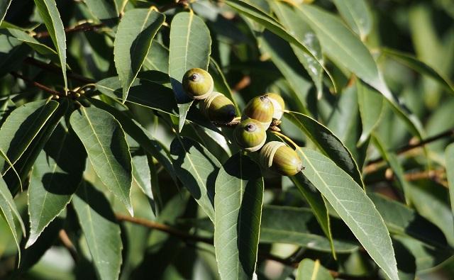 ROBLE DE HOJAS DE BAMBÚ Quercus myrsinifolia