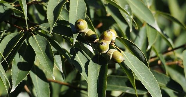 Quercus%2bmyrsinifolia%2b22245673008_6d0ab28bdb_o%2b-%2bcopia