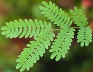 daun asam jawa merupakan obat campak