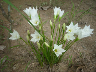 hình ảnh hoa huệ trắng