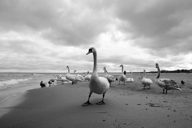 Fotografia przyrody. Łabędzie. Sopot. fot. Łukasz Cyrus