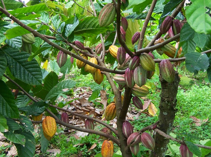 cara tanaman budidaya kopi coklat