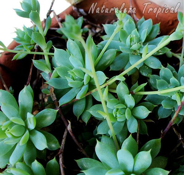 Otra foto de la planta Graptopetalum macdougallii