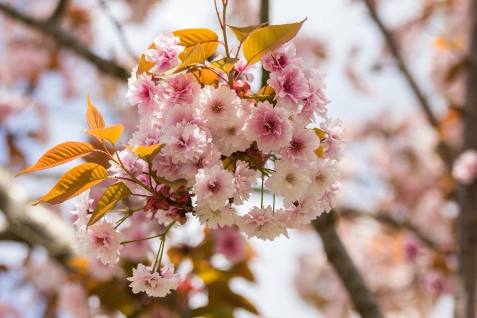 Share Experience Tour to Japan Sakura Flower