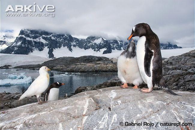 interacciones en la fauna Argentina Pinguinos y rapaces