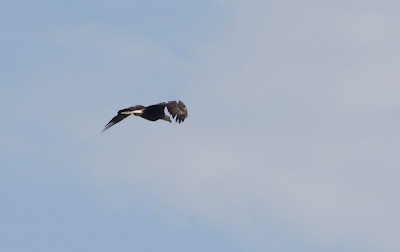 bald eagle flying in Luther Marsh