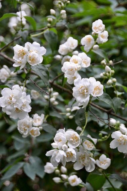 Hydrolat z kwiatów jaśminu - najlepiej nawilżający wśród znanych mi hydrolatów