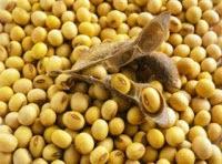 kacang kedelai yaitu salah satu jenis tanaman yang banyak digunakan sebagai materi dasar kec manfaat dan kandungan biji kedelai