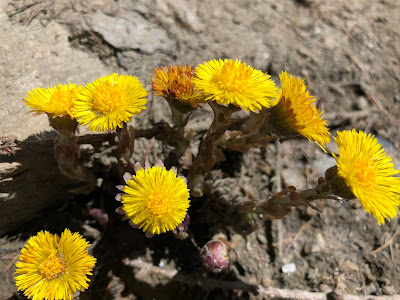 [Asteraceae] Tussilago farfara – Coltsfoot (Tossilaggine comune).