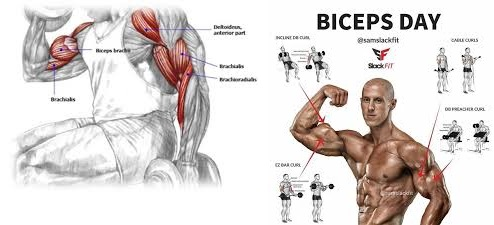 The Complete Biceps Training Guide For Maximum Arms Development