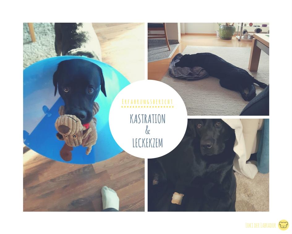 Bildcollage Titelbild Kastration Labrador Rüde