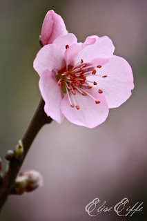 Single Pink Cherry Blossom