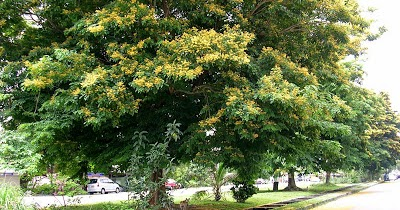 Philippines My Country The Philippine National Tree