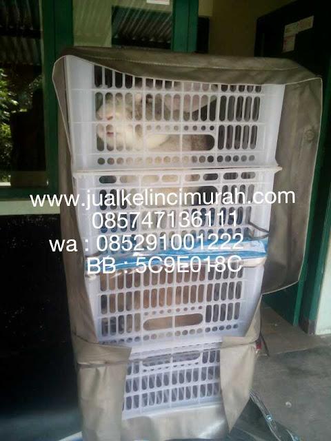 Jual Kelinci Balikpapan Kaltim Kalimantan Timur