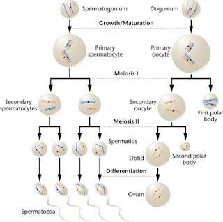 reproduksi vegetatif  reproduksi generatif pada hewan  reproduksi generatif dan vegetatif pada tumbuhan  reproduksi generatif dan vegetatif  reproduksi generatif (seksual)  reproduksi generatif jamur ascomycota  reproduksi generatif jamur zygomycota  fase reproduksi generatif pada aurelia sp