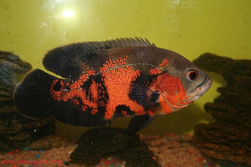 Gambar Makanan Ikan Oscar Yang Baik Untuk Warnanya