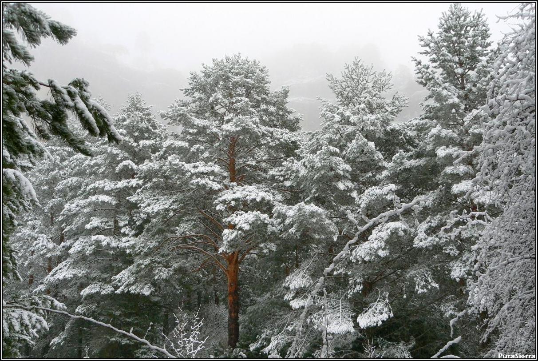 Pinos albares nevados en la Fuente De La Ardilla (Valdemeca)