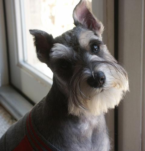 Rottweiler Mix German Shepherd Puppies Cute Dogs: Miniature S...