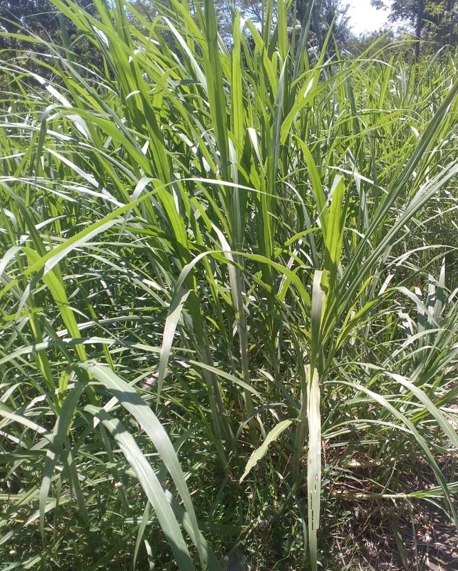 Jenis Rumput Rumputan : jenis, rumput, rumputan, HIJAUAN, MAKANAN, TERNAK, Pemuda