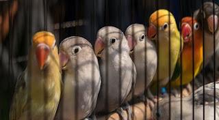 Tips Memilih Lovebird Beby/Bakalan Bermental Dan Ngekek Panjang