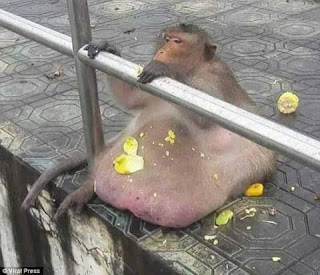 Overweight Thai monkey checked into boot camp to get treatment for obesity