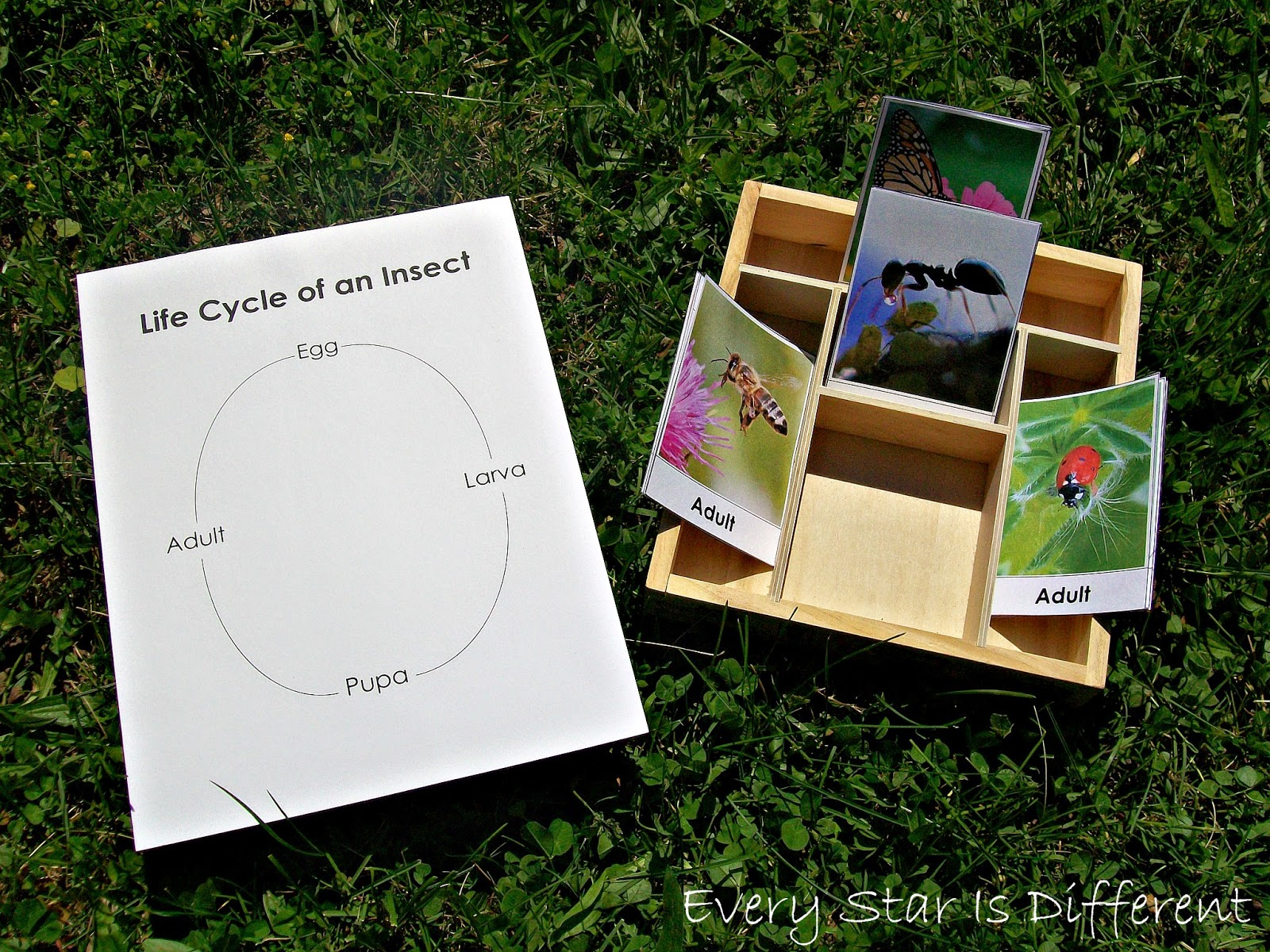 Life cycle of an insect activity for kids (free printable)