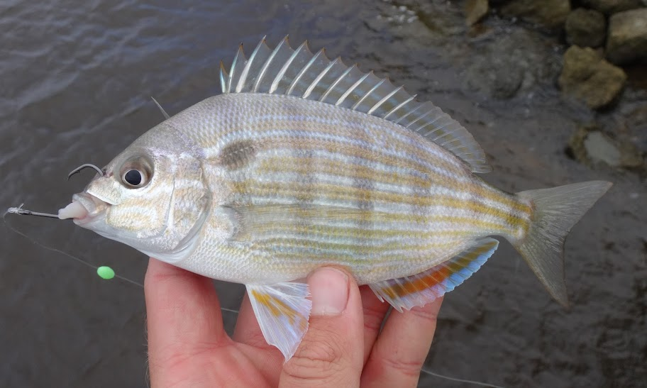 Ben cantrell 39 s fish species blog hurricane pier fishing for South carolina fish species
