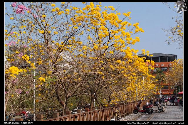 2017-03-24南投草屯-南開科大旁的黃花風鈴木