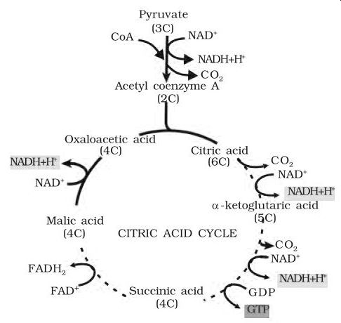 Ncert solutions for class 11th ch 14 respiration in plants biology krebs cycle malvernweather Gallery
