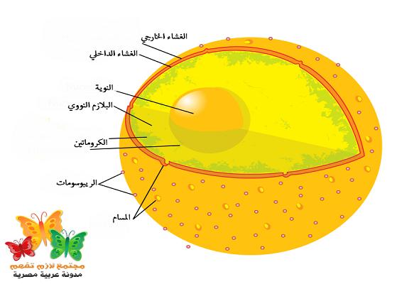 What-is-Cell-Nucleus-Definition-ما-هو-تعريف-نواة-الخلية